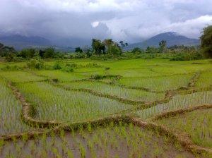 Tanaman Padi Terselamatkan. Warga petani yangs empat khawatir terhadap kondisi pertanian tanaman padi di sawah milik mereka, akhirnya dapat terselamatkan dengan datangnya hujan dua hari terakhir seperti yang terlihat dalam gambar pada salah satu kawasan persawahan di STTU JULU. @