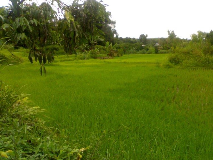 Salah satu areal persawahan di Desa Boangmanalu Kecamatan Salak Pakpak Bharat milik Bapak J. Boangmanalu yang masih dikelola secara tradisional, sehingga hasil yang dicapai juga kurang maksimal. @