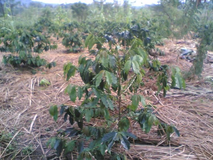 Salah satu areal pertanian kopi ateng yang dikembangkan oleh masyarakat Cikaok kecamatan STTU JULU Pakpak Bharat yang dirasakan membutuhkan perhatian pemerintah. @