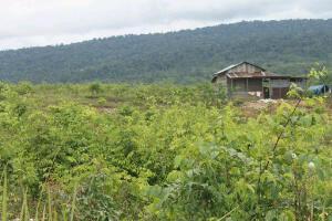 Salah satu lahan produksi Gambir Di Kecamatan Siempat Rube Pakpak Bharat